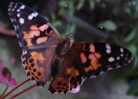 A painted lady in my garden last year
