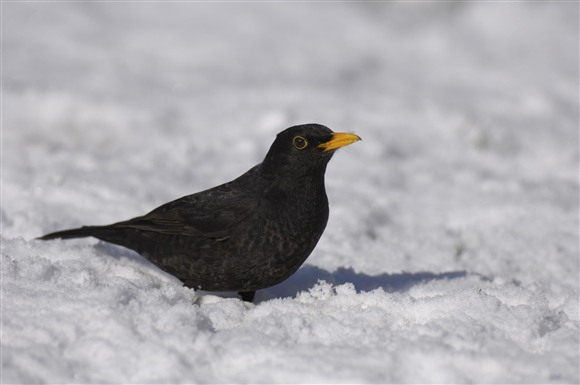 Blackbird in the snow courtesy of Sue Tranter (rspb-images.com)