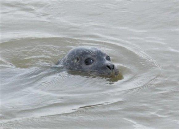 You lookin' at me? Seal at Rainham (c) Louise Moss