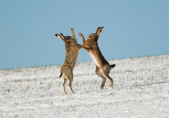 Brown hares boxing in snow (Image by Richard Revels - www.rspb-images.com)