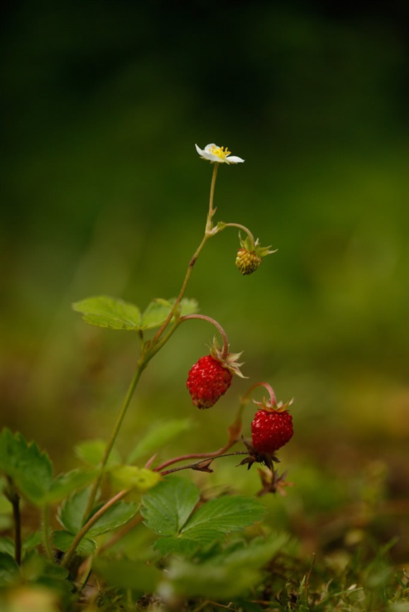 Wild strawberry. Image by Mike Lane (www.rspb-images.com)