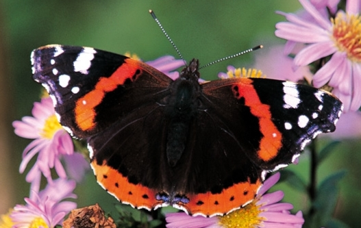 Red admiral. Photo by Chris Gomersall (www.rspb-images.com)