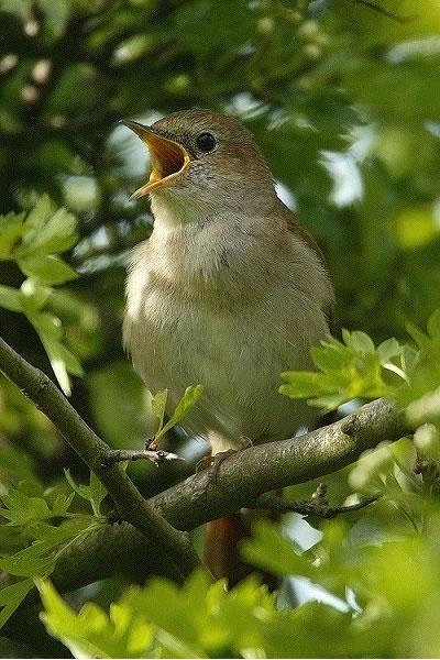 Singing nightingale - image by Nigel Blake (www.nigelblake.co.uk)