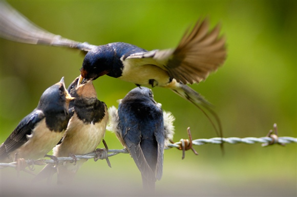 Swallow feeding young. Photo by Ray Kennedy (www.rspb-images.com)