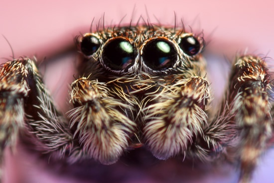 Extreme close up front view of a jumping spider.