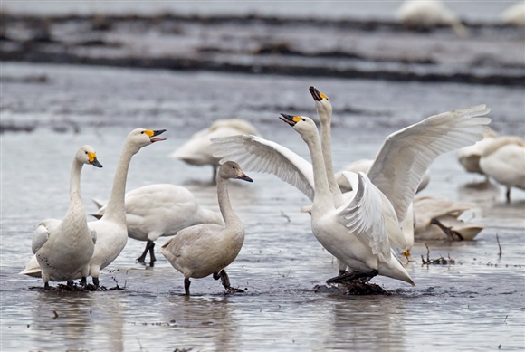 Bewick's swans - photo by Chris Knights (www.rspb-images.com)