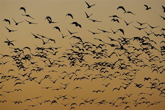 Pink-footed geese. Image by Graham Catley.
