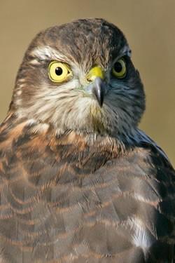Juvenile sparrowhawk by Nigel Blake