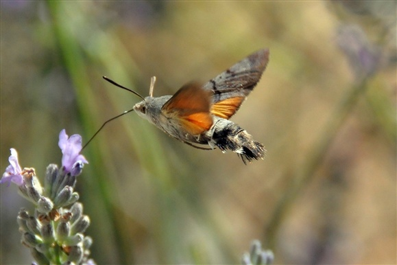 Hummingbird hawkmoth by belgianchocolate