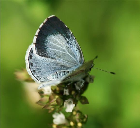 Holly blue on garden herb. Photo by nutmeg66 (http://www.flickr.com/photos/rachel_s/1196378378/)
