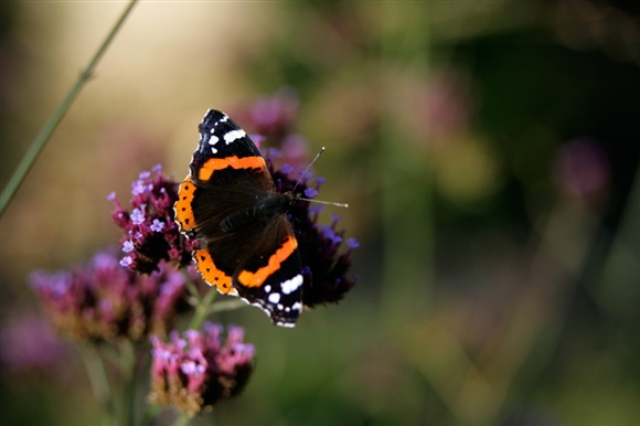 Red admiral. Photo by Andy Hay (www.rspb-images.com)
