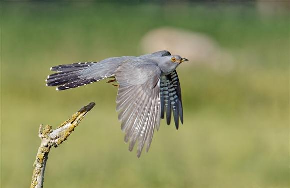 Male cuckoo - photo by David Kjaer (www.rspb-images.com)
