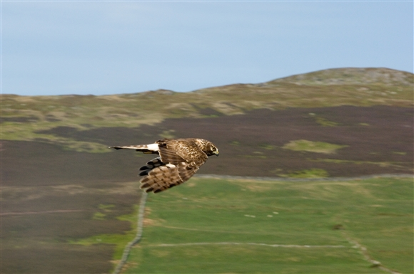 Female hen harrier in flight (c) James Leonard, 2008