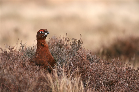 Red grouse - Andy Hay (rspb-images.com)