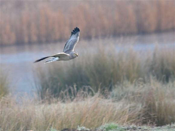 Hen harrier at the Dee Estuary (c) Mike Davenport, 2013