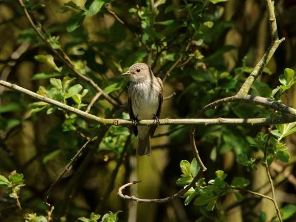 Spotted flycatcher by Andy Thompson