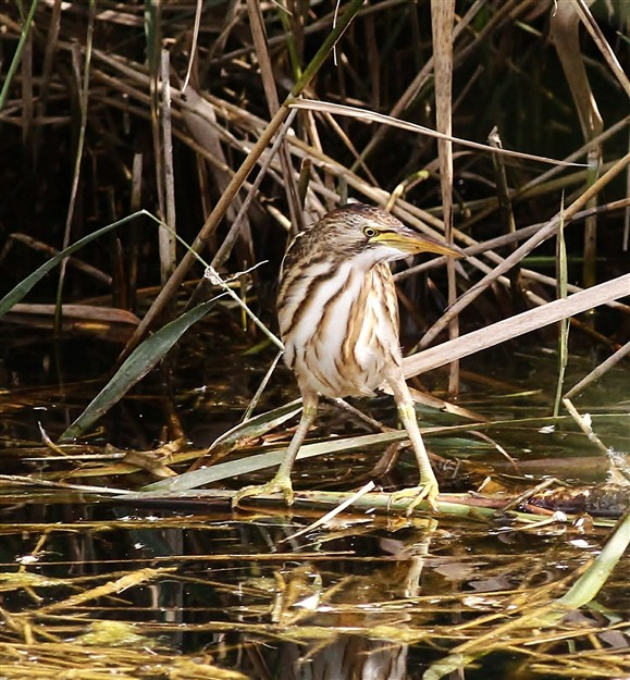 The little bittern. Copyright Mark Rayment