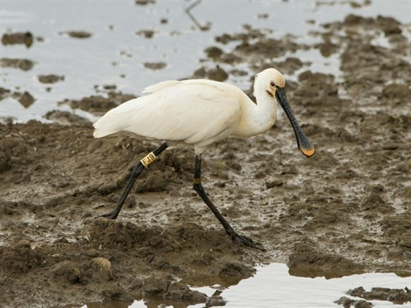 Spoonbill by Andy Thompson
