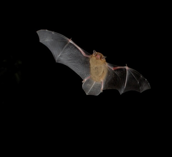 Pipistrelle Bat Size Pictures To Pin On Pinterest Thepinsta