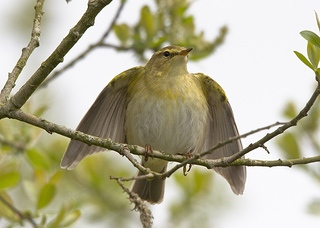 Willow warbler (Pete Wood)