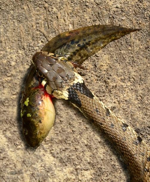 And What Do Grass Snakes Eat I Hear You Ask Rainham