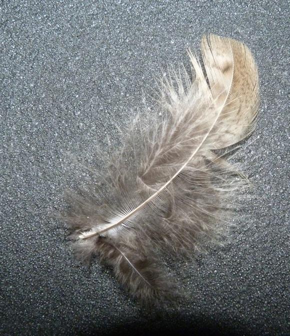 Who's feather?? - Rainham Marshes - Rainham Marshes - The RSPB ...
