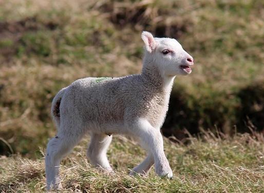 Lamb Story - Saltholme - Saltholme - The RSPB Community