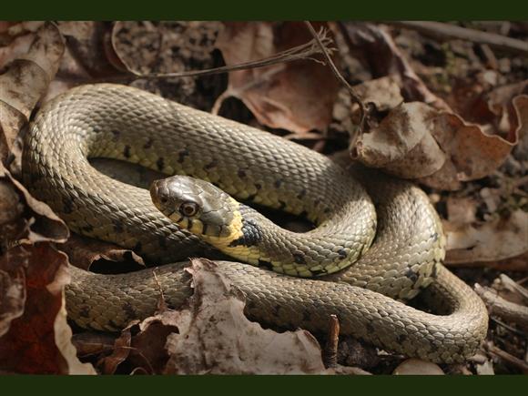Grass snake, by Liz Cutting
