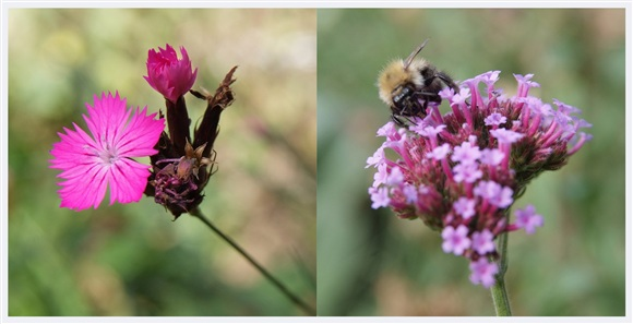 Dianthus carthusianorum and Verbena bonariensis (with bee)