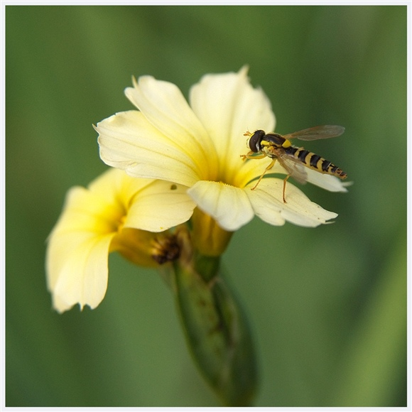 hoverfly, resting on one of the last few Sisyrinchium flowers