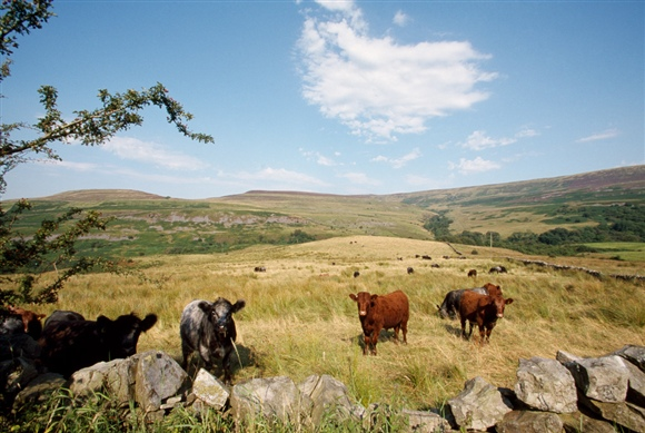 Cattle grazing benefits many important habitats and species (photo: Andy Hay, RSPB images)