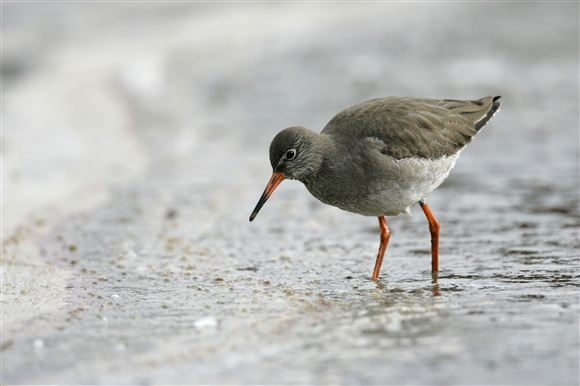 redshank by Andy Hay (rspb-images.com)