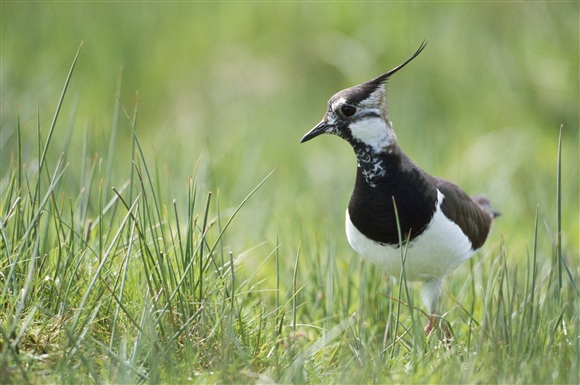 lapwing by Andy Hay (rspb-images.com)