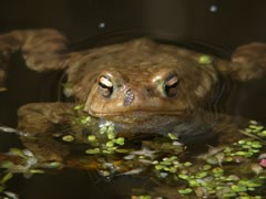 Common toad, half submerged in water.