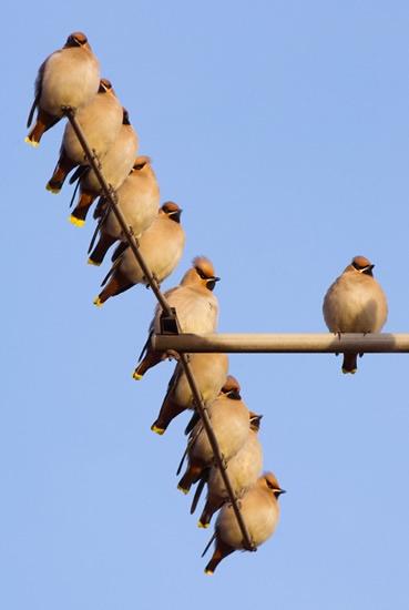 Waxwings on TV aerial