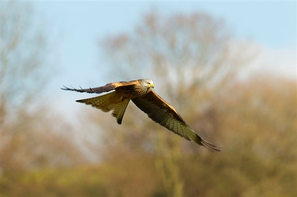 Red kite flying with trees in background