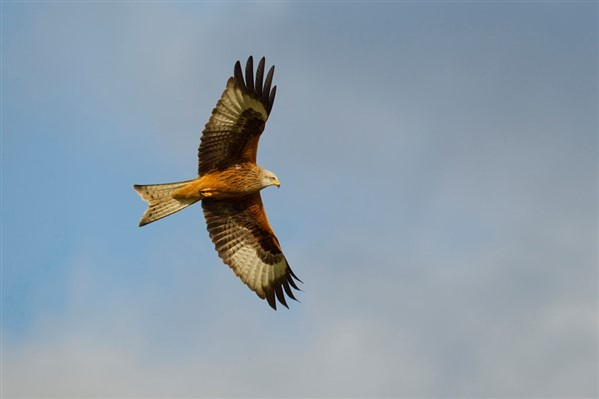 Red Kite against blue sky with grey clouds
