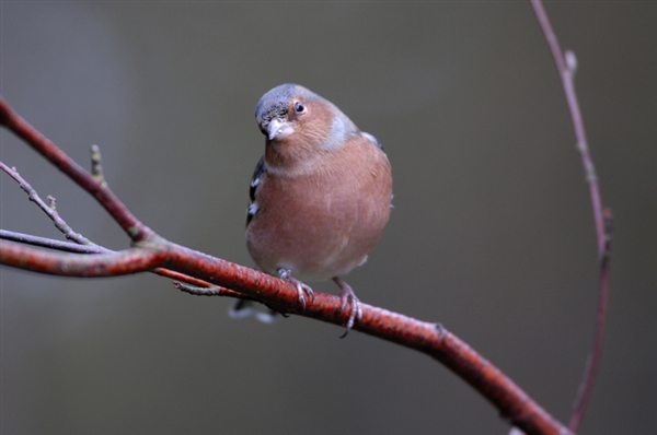 chaffinch on a branch with head cocked