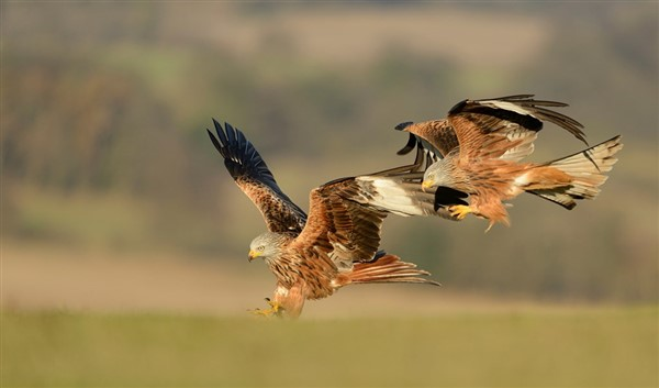 2 red kites coming in to land in a field