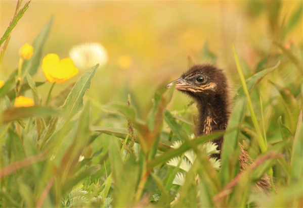 baby corncrake in grass