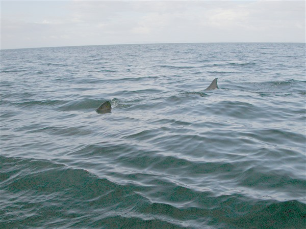 basking shark fins showing above water