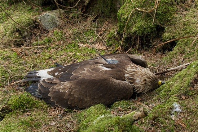 An illegally killed golden eagle, dumped near a road