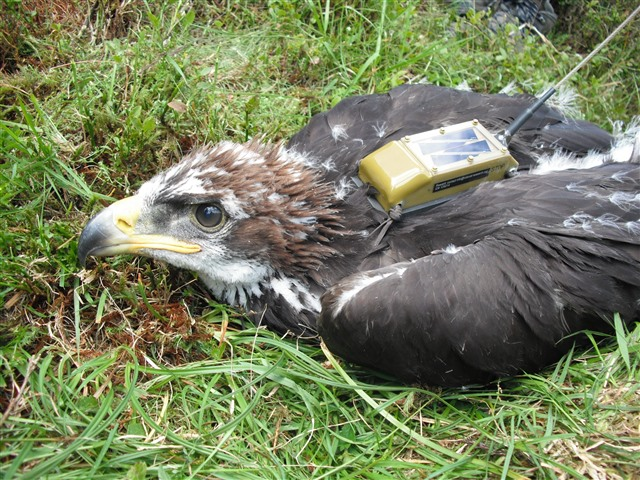 Young golden eagle with tag