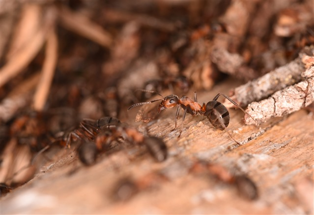 Macro shot of a hairy wood ant in a nest