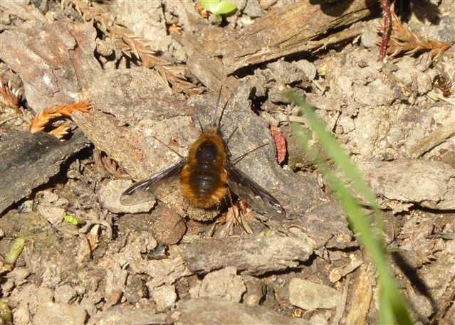 Dark-edged bee-fly on the ground