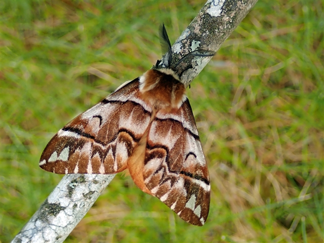 Beautifully patterned moth on a twig