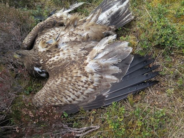 White-tailed eagle which was found poisoned