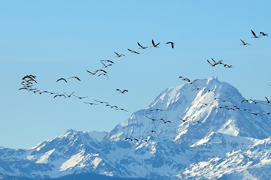 Bird Migration Terms And Their Meanings Natures Home