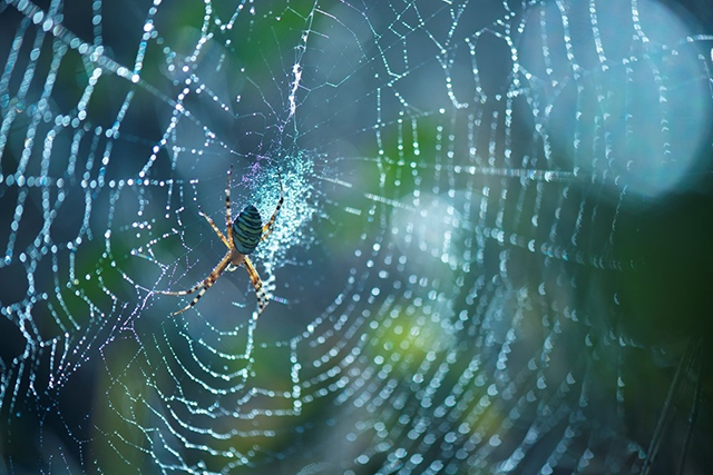 Wasp spider in web dew