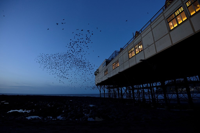 Starling murmuration at Brighton Pier